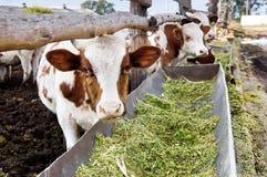 Le mucche da latte mangiano il silaggio in un'azienda agricola Fotografia Stock Libera da Diritti