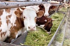 Le mucche da latte mangiano il silaggio in un'azienda agricola Immagine Stock Libera da Diritti