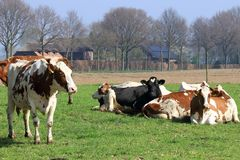 Le mucche da latte pascono nel prato Fotografia Stock Libera da Diritti