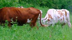 Le mucche dei colori differenti pascono da sè nel prato Bestiame, alberi, erba, fiori ed insetti Sviluppo del bestiame archivi video