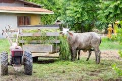 Le mucche del gregge nel campo si bloccano, orologio davanti alle mucche, la c bianca Fotografie Stock
