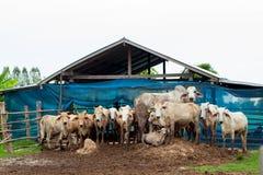 Le mucche del gregge nel campo si bloccano, orologio davanti alle mucche, la c bianca Immagine Stock