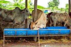 Le mucche del gregge nel campo si bloccano, orologio davanti alle mucche, la c bianca Immagine Stock Libera da Diritti