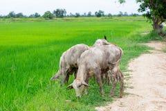 Le mucche del gregge nel campo si bloccano, orologio davanti alle mucche, la c bianca Fotografia Stock Libera da Diritti