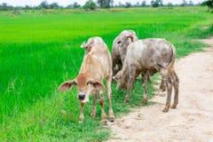 Le mucche del gregge nel campo si bloccano, orologio davanti alle mucche, la c bianca Fotografie Stock Libere da Diritti