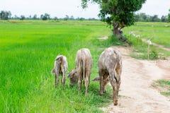 Le mucche del gregge nel campo si bloccano, orologio davanti alle mucche, la c bianca Immagini Stock Libere da Diritti