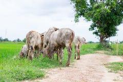 Le mucche del gregge nel campo si bloccano, orologio davanti alle mucche, la c bianca Fotografia Stock