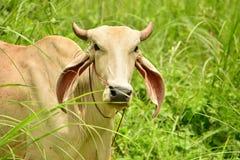 Le mucche della Tailandia hanno alimentato un naturale semi- Fotografie Stock Libere da Diritti