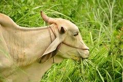 Le mucche della Tailandia hanno alimentato un naturale semi- Fotografia Stock Libera da Diritti
