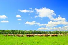 Le mucche dentro pascono Fotografie Stock