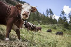 Le mucche di Brown pascono nel prato italiano della montagna del paradiso di gran del parco nazionale fotografie stock libere da diritti