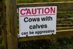 Le mucche di cautela del segno con i vitelli possono essere aggressive Fotografie Stock Libere da Diritti