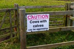 Le mucche di cautela del segno con i vitelli possono essere aggressive Immagini Stock Libere da Diritti