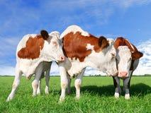 Le mucche di flirt fotografia stock