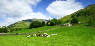 Le mucche ed abbatte fotografie stock