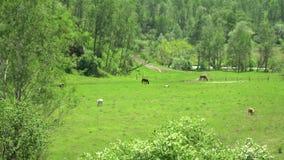 Le mucche ed i cavalli sono pascuti su un pascolo Erba verde archivi video