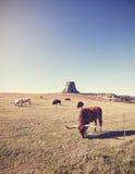 Le mucche ed il bisonte con i diavoli si elevano nella distanza, U.S.A. Immagine Stock