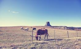 Le mucche ed il bisonte con i diavoli si elevano nella distanza, U.S.A. Fotografie Stock Libere da Diritti
