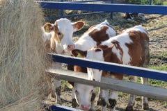 Le mucche esaminano fuori da dietro il recinto e lo sguardo il grande mucchio di fieno fresco fotografie stock