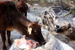 Le mucche indiane lecca un cristallo himalayano 3 del sale Fotografia Stock Libera da Diritti