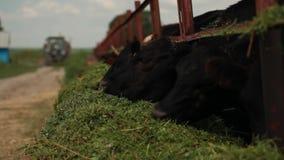 Le mucche mangiano l'alfalfa video d archivio