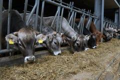 Le mucche mangiano l'alimentazione Fotografie Stock Libere da Diritti