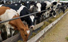 Le mucche mangiano l'alimentazione Fotografia Stock