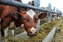Le mucche mangiano l'alimentazione fotografia stock libera da diritti