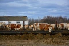 Le mucche mangiano un fieno sull'allevamento in Russia Fotografia Stock
