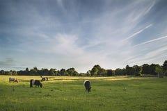 Le mucche nei campi dell'azienda agricola abbelliscono sulla sera dell'estate in Inghilterra Immagini Stock