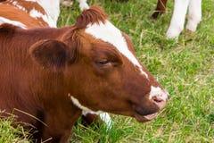 Le mucche nel campo in prato verde coltivano i dettagli del villaggio Immagini Stock