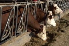 Le mucche nel granaio mangiano il foraggio fotografia stock libera da diritti