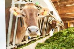 Le mucche nell'azienda agricola bloccano la stalla che mangiano l'erba verde fresca Fotografie Stock