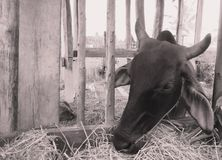 Le mucche pascono alla fine su Immagini Stock