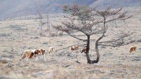 Le mucche pascono fra le pietre delle montagne nei precedenti stock footage