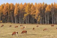 Le mucche pascono in autunno fotografia stock libera da diritti