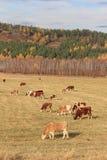Le mucche pascono in autunno fotografie stock libere da diritti