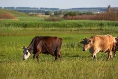 Le mucche pascono nel prato Agricoltura, paesaggio rurale Giorno pieno di sole di estate fotografie stock libere da diritti