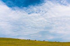 Le mucche pascono nell'azienda agricola verde del cielo blu del prato fotografie stock