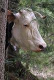 Le mucche pascono nella foresta Fotografia Stock Libera da Diritti