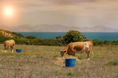 Le mucche pascono su un prato della montagna al tramonto della Grecia Mucca sulla montagna di fronte al mare Immagine Stock