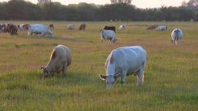 Le mucche pascono sul campo di erba video d archivio