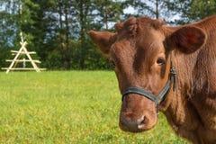 Le mucche pascono sul campo nella sera dell'estate Immagine Stock Libera da Diritti