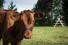 Le mucche pascono sul campo nella sera dell'estate Immagine Stock