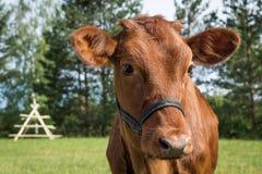 Le mucche pascono sul campo nella sera dell'estate Fotografia Stock