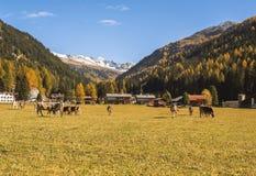 Le mucche pascono sul campo in Tavate in Svizzera sui precedenti delle alpi svizzere Davos Switzerland Fotografie Stock