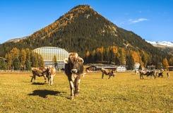 Le mucche pascono sul campo in Tavate in Svizzera sui precedenti delle alpi svizzere Davos Switzerland Immagini Stock Libere da Diritti