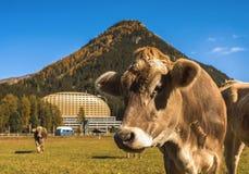 Le mucche pascono sul campo in Tavate in Svizzera sui precedenti delle alpi svizzere Davos Switzerland Immagini Stock