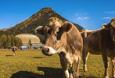 Le mucche pascono sul campo in Tavate in Svizzera sui precedenti delle alpi svizzere Davos Switzerland Fotografie Stock Libere da Diritti