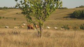 Le mucche pascono sul pascolo Concetto di affari della latteria Bestiame nel prato Il concetto dell'allevamento di bestiame ecolo archivi video
